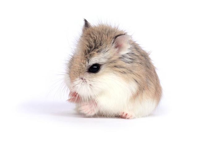 Chăm Sóc Chuột Hamster Robo