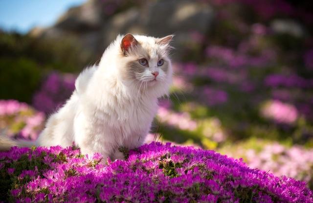 Điều Thú Vị Về Mèo Ragdoll