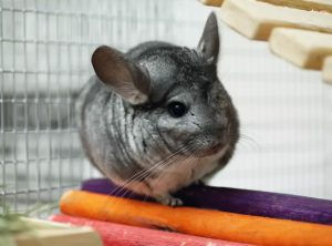 do choi cho chinchilla