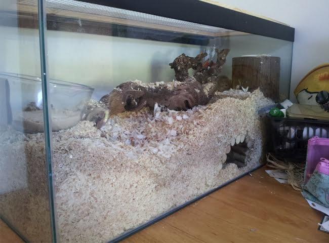 Lót chuồng cho chuột nhảy cần dày bao nhiêu