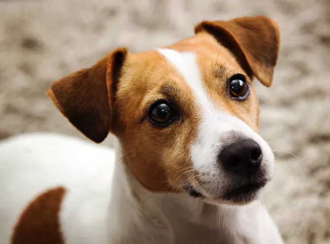 giong cho de thuong cho Jack Russell
