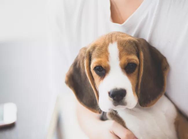 giong cho de thuong cho beagle