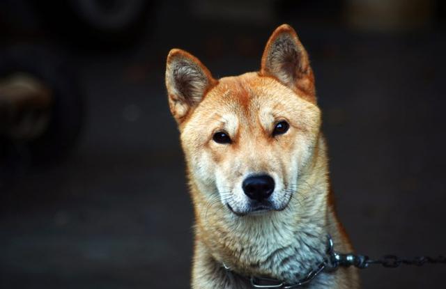 Chó Hàn Quốc