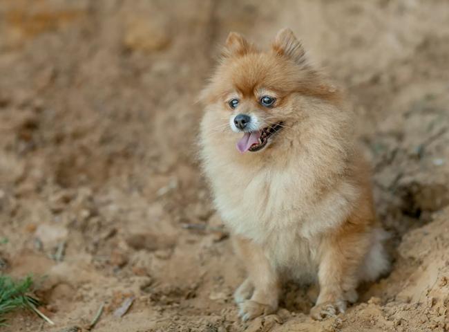 giong cho nau cho Pomeranian