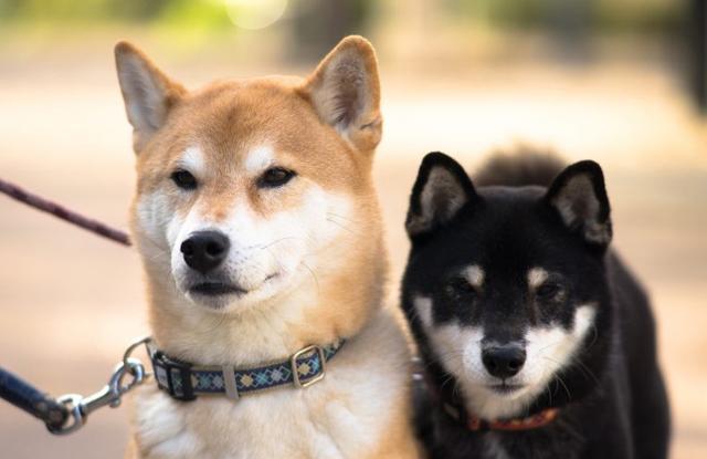 Chó Nhật Bản