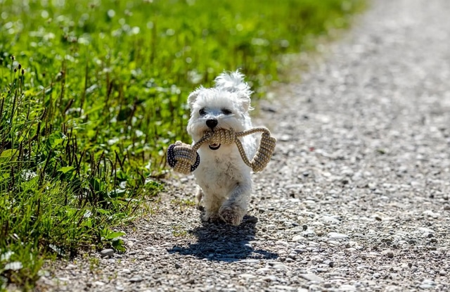 Giống Chó Teacup