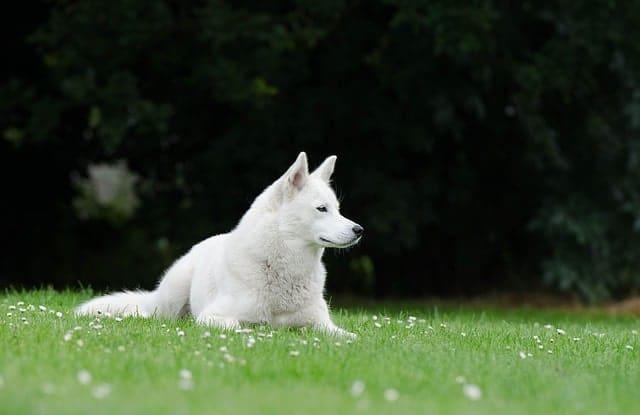 giong cho trang husky siberi