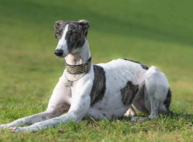 giong cho tre em nen tranh cho Greyhound