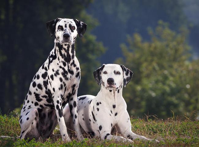 giong cho tre em nen tranh cho dom Dalmatian