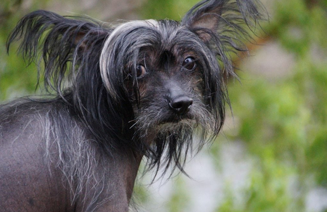 giong cho trung quoc cho Crested