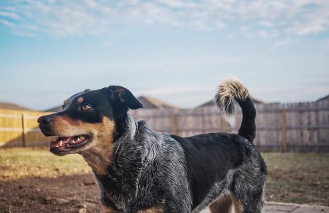Giống Chó Úc