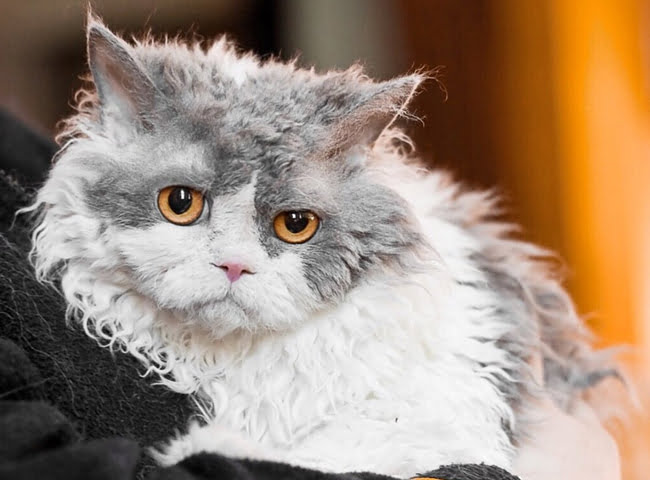 giong meo Selkirk Rex hinh anh