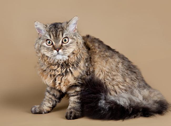 Mèo Selkirk Rex