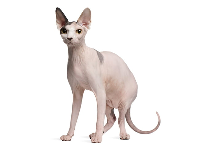 giong meo Sphynx hinh anh