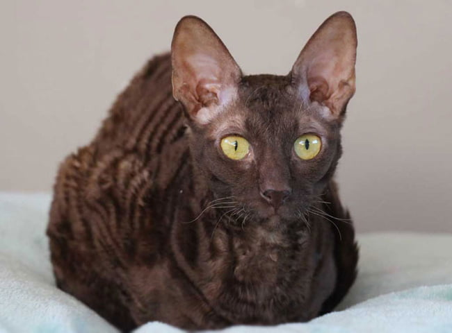 giong meo long ngan cornish rex 3