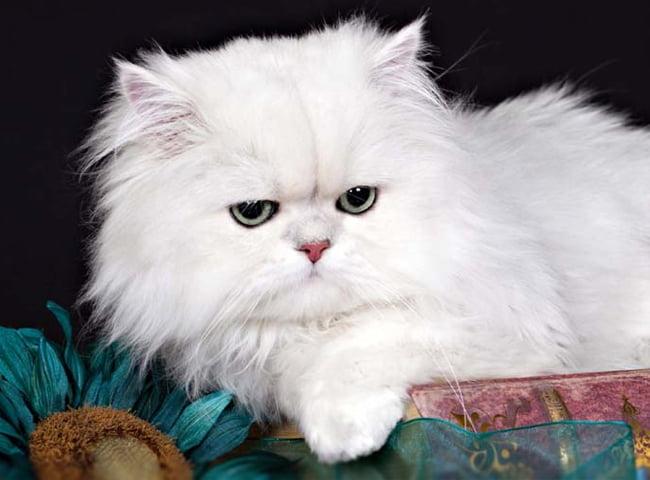 Giống Mèo Lông Trung Bình Mèo Ba Tư