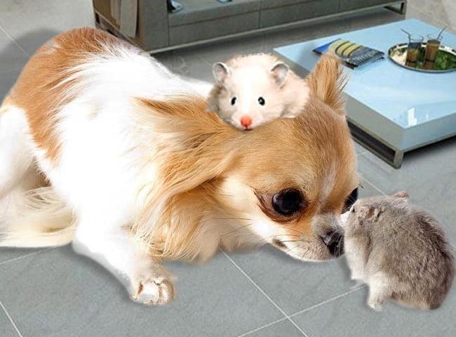 giu cho chuot hamster an toan khoi vat nuoi khac