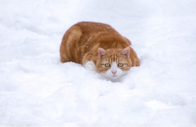 Hạ Thân Nhiệt Ở Mèo