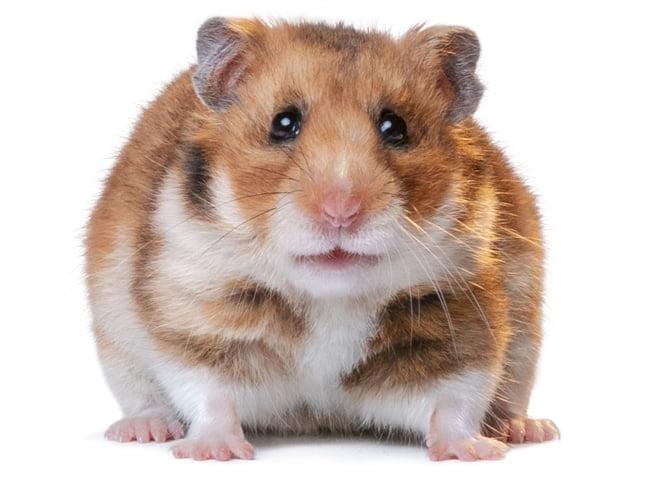 hamster bear 2020