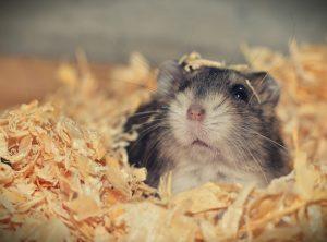 hanh vi cua chuot hamster