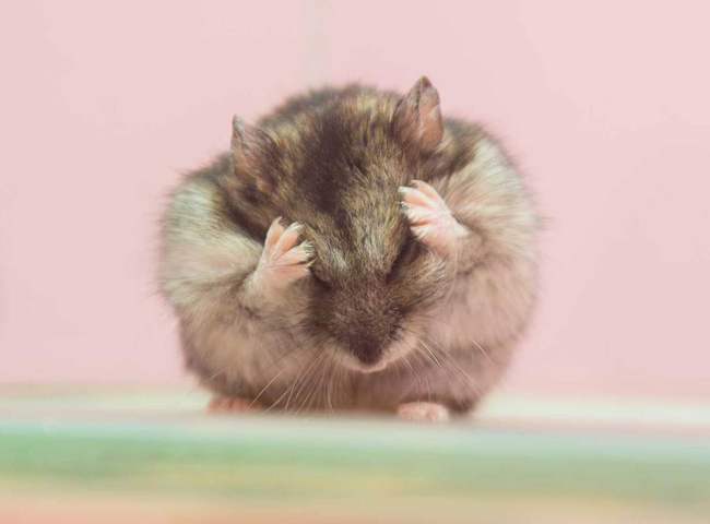 hanh vi cua chuot hamster chai chuot long