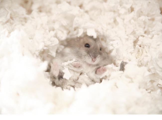 Đào Hang Hành Vi Của Chuột Hamster
