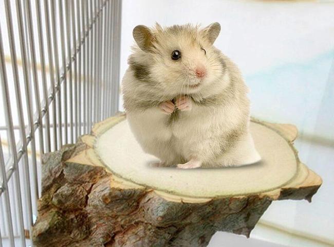 hanh vi cua chuot hamster dung bang 2 chan