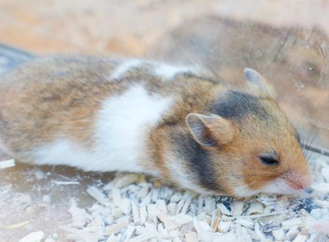 hanh vi cua chuot hamster lo do met moi
