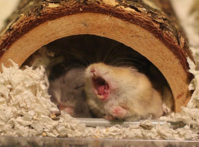 hanh vi cua chuot hamster ngua co nhe rang