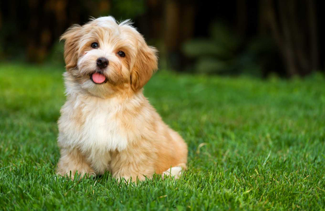 havanese giong cho toy