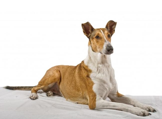 Hình Ảnh Chó Smooth Collie