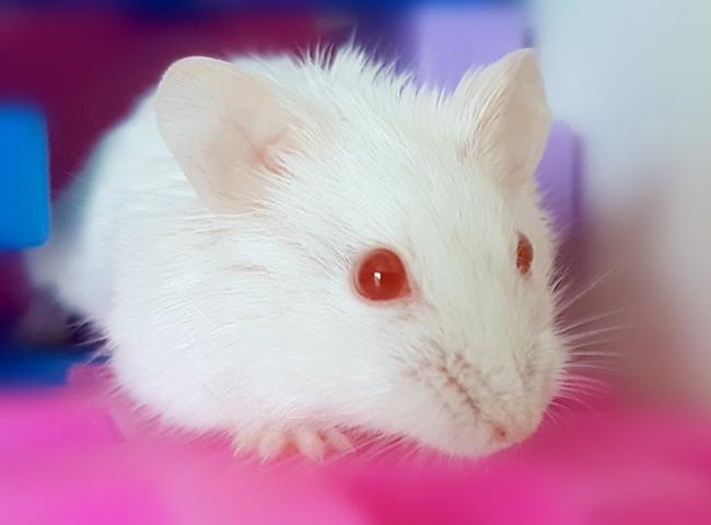 hinh anh chuot hamster abino
