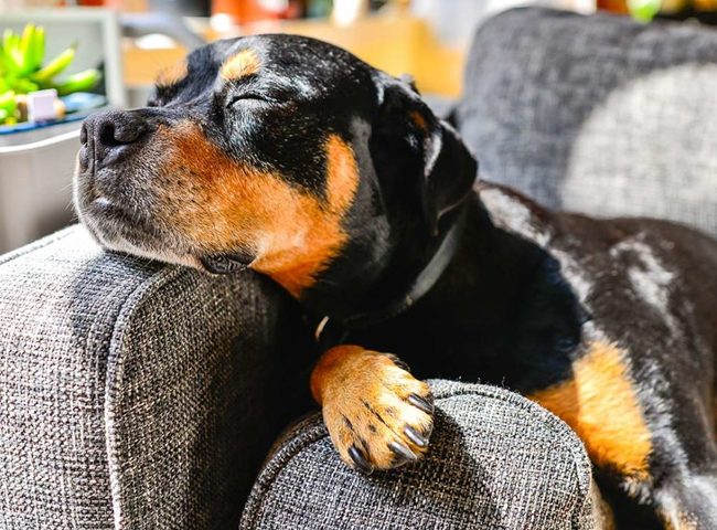hinh anh giong cho Rottweiler 2