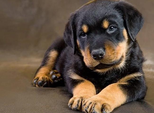 Hình ảnh chó Rottweiler