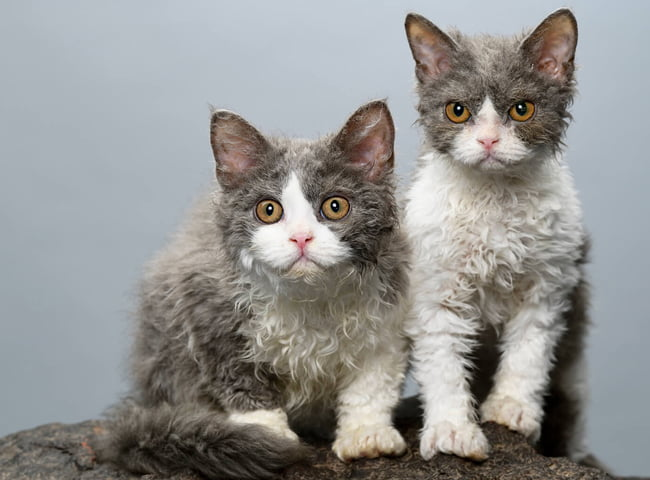 hinh anh giong meo Selkirk Rex 1