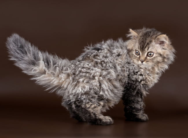 hinh anh giong meo Selkirk Rex 2