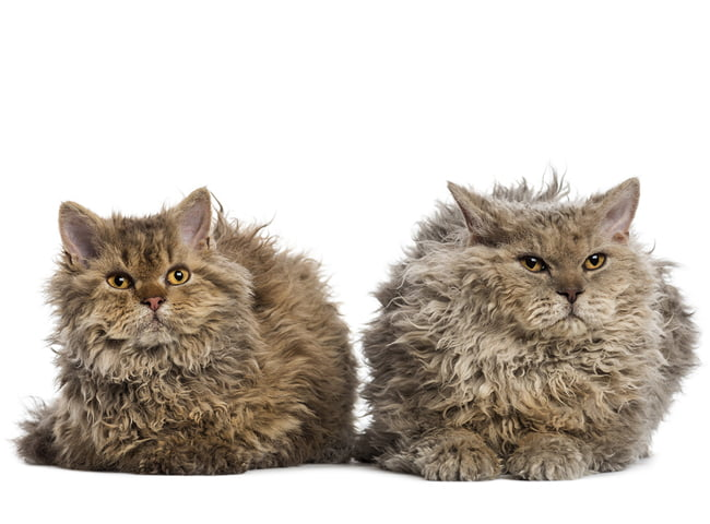 hinh anh giong meo Selkirk Rex 3