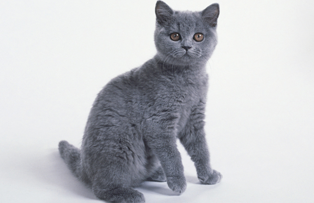 hinh anh meo Chartreux 4