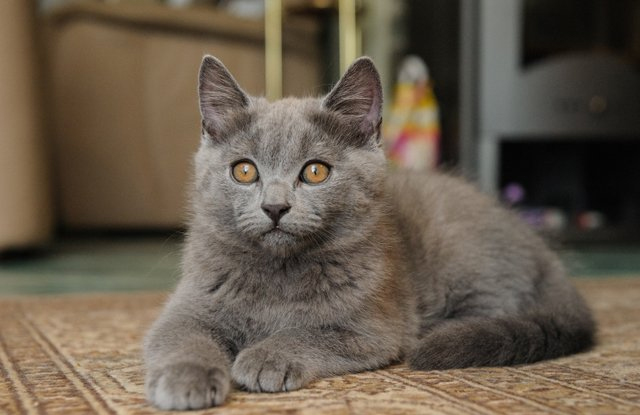 hinh anh meo Chartreux 5