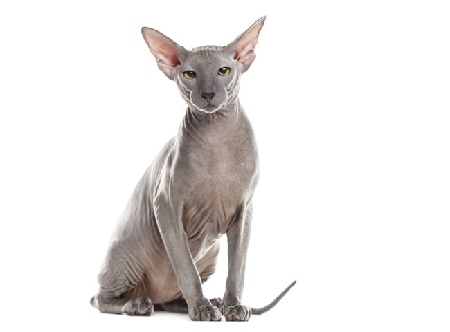 hinh anh meo Sphynx 1