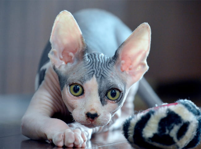 hinh anh meo Sphynx 2