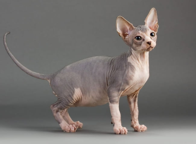 hinh anh meo Sphynx 3