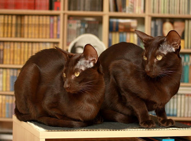 Hình Ảnh Mèo Havana Brown