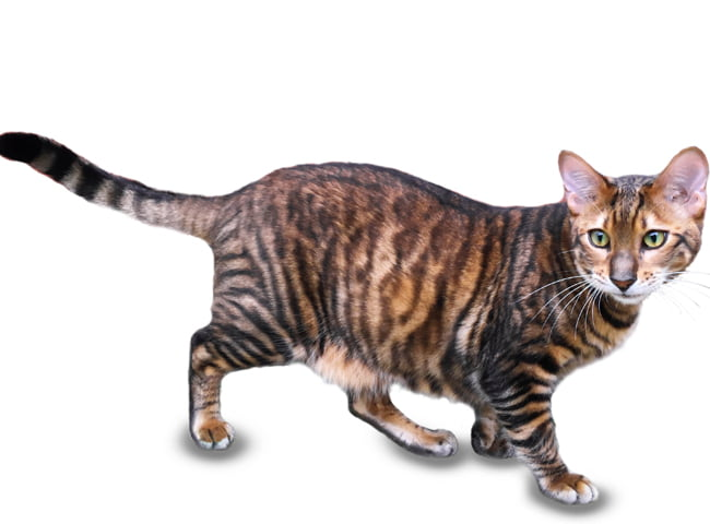 hinh anh meo toyger 1