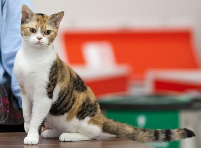 Mèo Mỹ Lông Sợi
