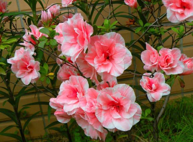 hoa do quyen co tot cho meo khokng