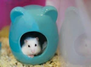 huan luyen hamster di ve dung cho