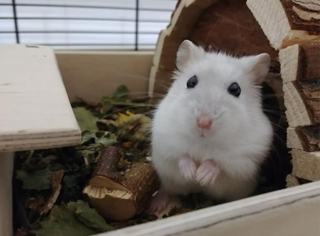 Nuôi Chuột Hamster Winter White