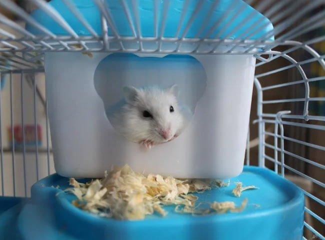 khi nuôi hamster sau sinh không di chuyển sang lồng mới
