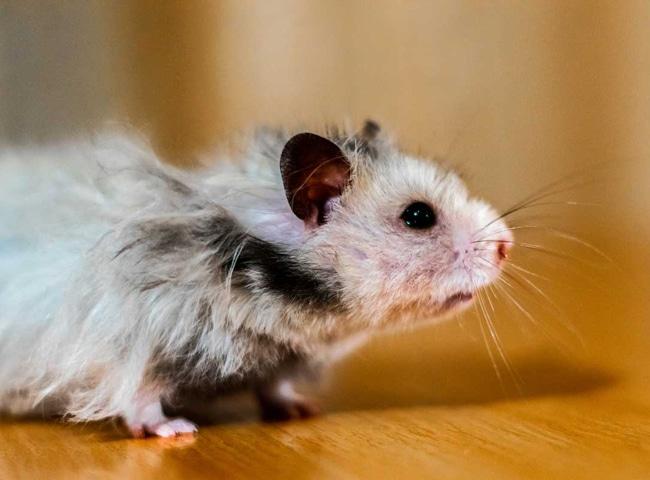 Khứu Giác Chuột Hamster